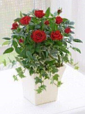 The gift of a flowering rose plant is a thoughtful way to make someone feel special. This vibrant red rose is an uplifting choice that is sure to brighten their mood — and their home — with a burst of colour.<br><br>Featuring a red rose planted with ivy and moss in a cream curved pot. This gift can be enjoyed indoors — but may also be successfully planted in the garden during the warmer months.<br><br>Approximate Product Dimensions: Height: 30cm Width: 20cm